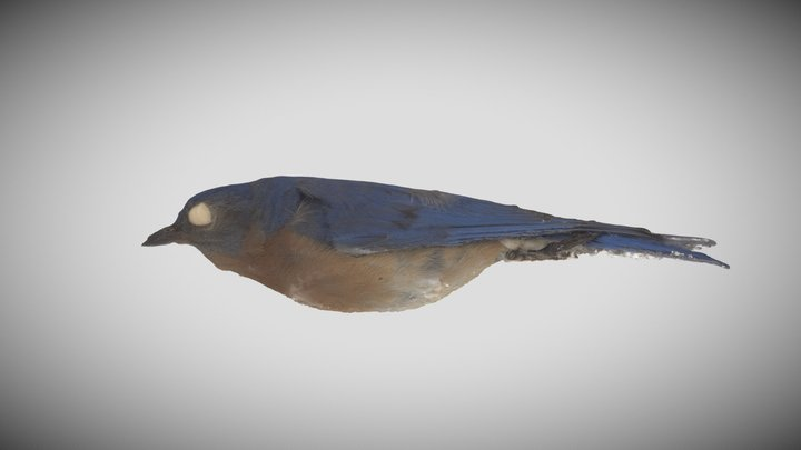 MCZ Bluebird (Sialia sialis sialis) 3D Model