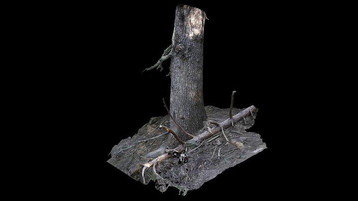 Abeto De Los Tres Quiñones (Detalle Tronco) 3D Model