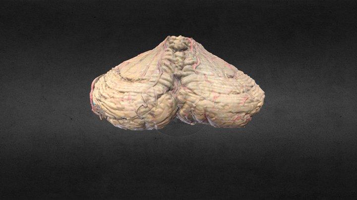 Cerebelo/Cerebellum 3D Model