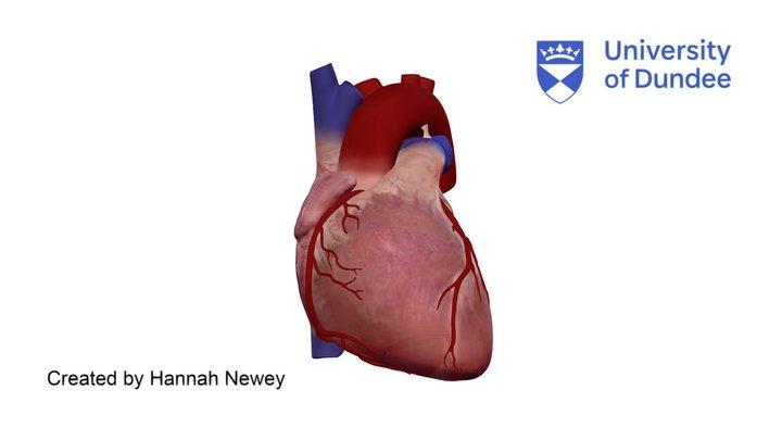 Cardiac Anatomy: Coronary arteries of the heart 3D Model