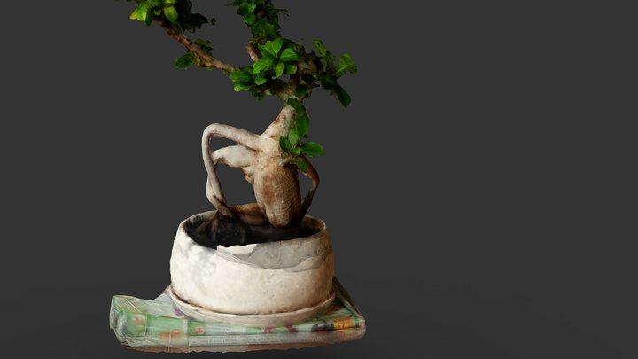 Fikus Ginseng - Bonsai Baum 3D Model