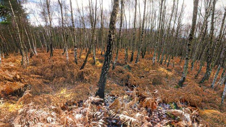 Birch forest woods 360 VR 3D Model