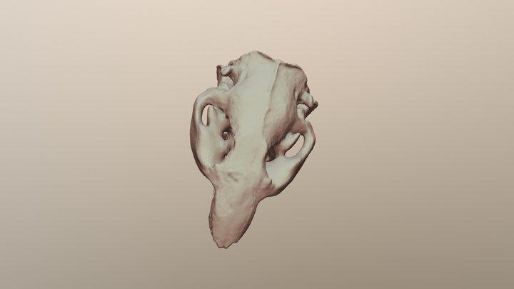 Beaver Skull #2830 3D Model