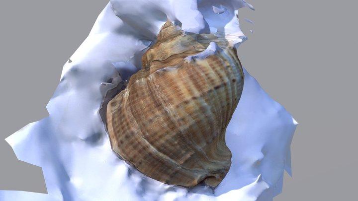 Scioca 3D Model