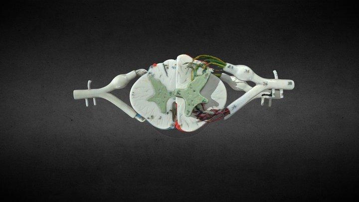 Spinal Cord Replica/Médula espinal 3D Model
