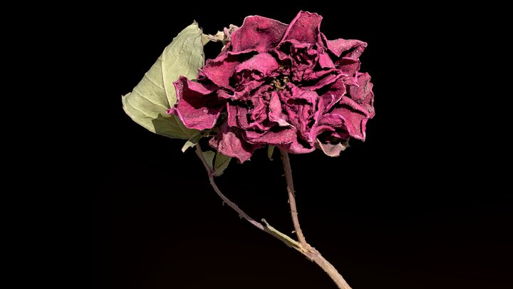 Dried Rose .::RAWscan 3D Model