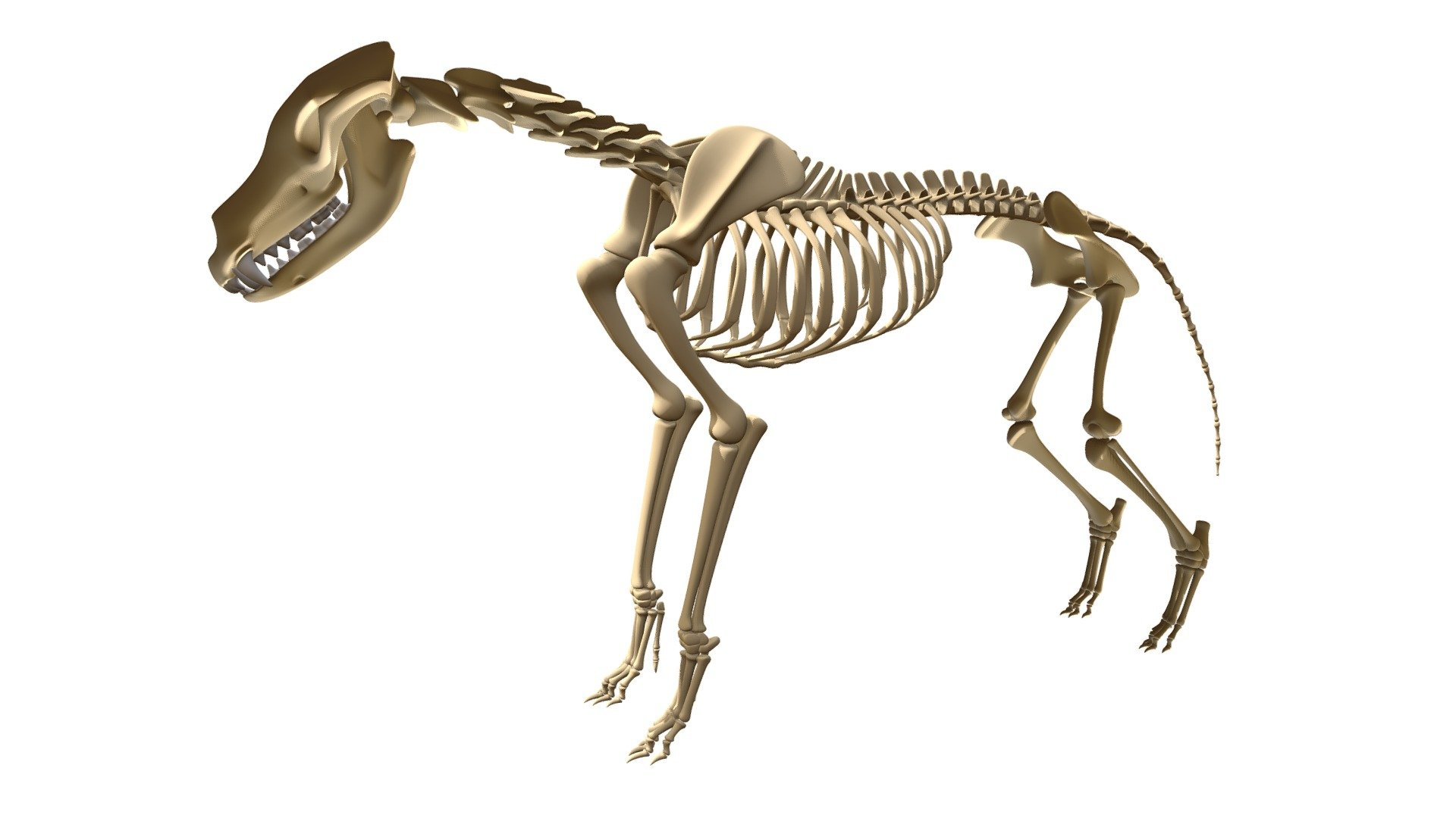 Wolf Skeleton Buy Royalty Free 3d Model By 3dhorse 3dhorse 0335080 Sketchfab Store
