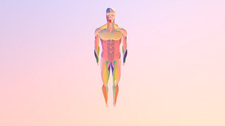 Referencia esqueleto con músculos 3D Model