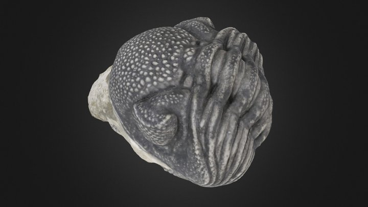 Trilobite: E. crassituberculata (PRI 49811) 3D Model