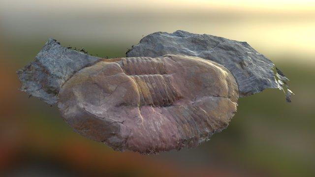 Ectillaenus giganteus 3D Model
