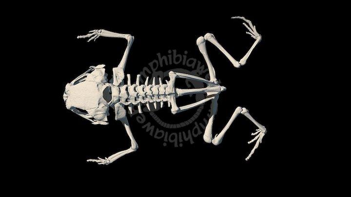 Brachycephalus albolineatus 3D Model