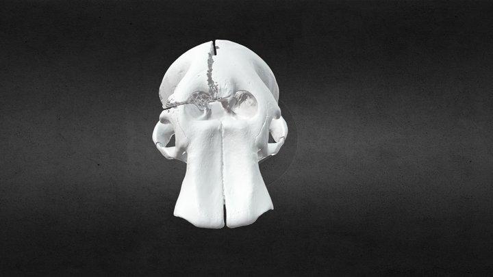 Loxodanta africana (elephant) Cranium w/Fragment 3D Model