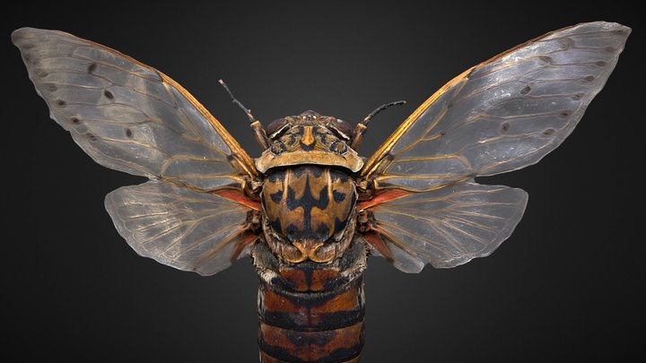 Cicada Pomponia 3D Model