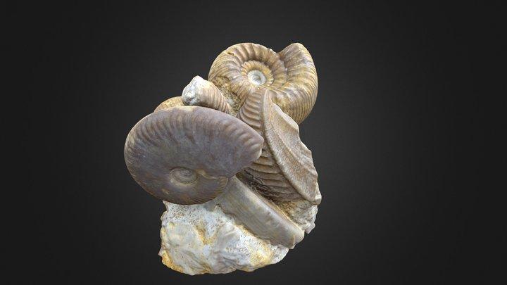 Stephanoceras, Trigonia, Oppelia 3D Model