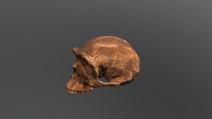 Choukoutien (Lower cave) cranium 3D Model