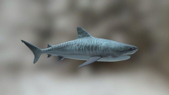 Tiger Shark 3d model 3D Model