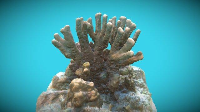 MAL Coral Columnar,Coral Garden, 201611 3D Model