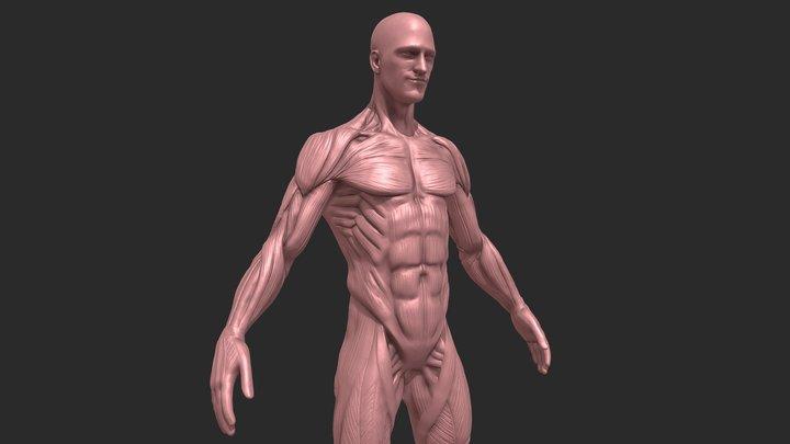 Male Ecorche anatomy 3D Model