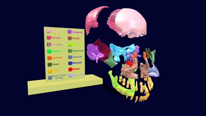 Skull human color coded animated 3D Model