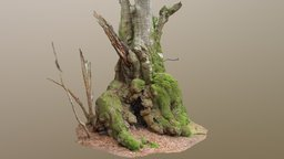Bulgy Gnarled Beech Tree 3D Model