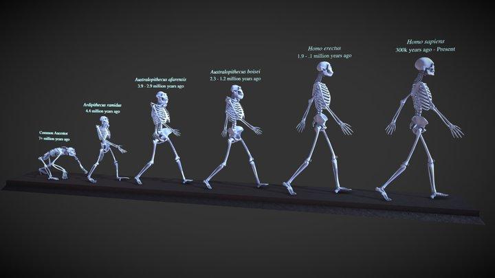 Evolution of Hominins (aka March of Progress) 3D Model