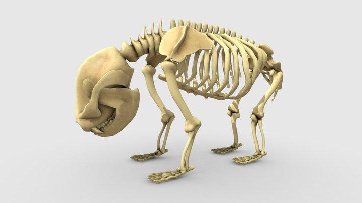 Giant Panda Skeleton 3D Model