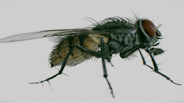 housefly ( Musca Domestica ) 3D Model