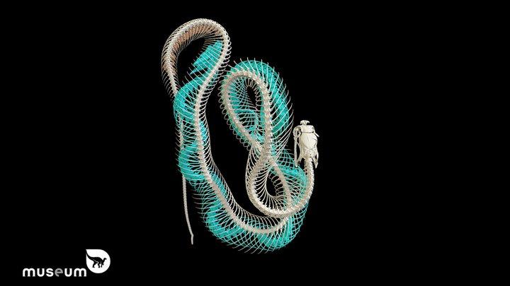 Naja samarensis ingested Cyclocorus n. nuchalis 3D Model
