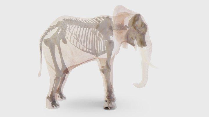 African Elephant, skeleton 3D Model