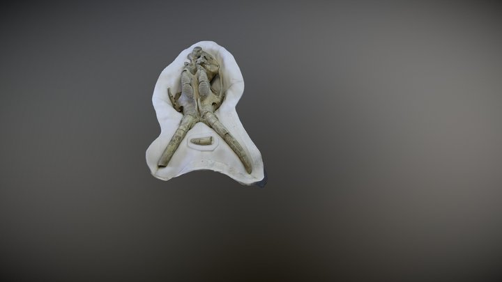 Juvenile Mammoth Fossil 3D Model