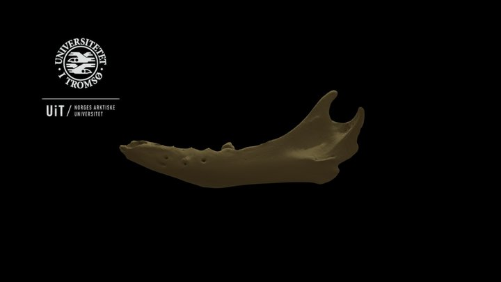 Seal skeleton: Mandible, low detail, no texture 3D Model
