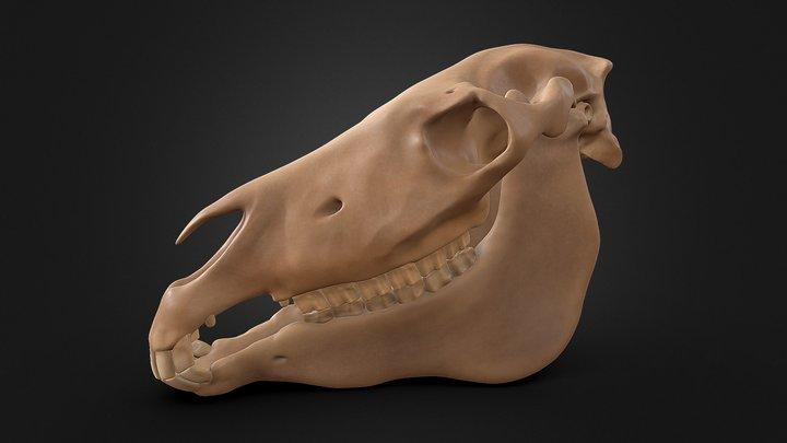 Equus africanus asinus - Esqueleto óseo 3D Model