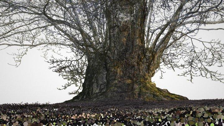 Old sweet chestnut tree in Kew Gardens 3D Model