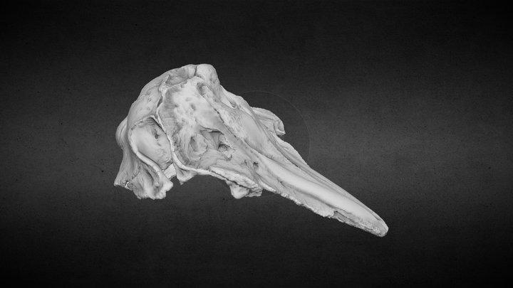 Tursiope (Tursiops truncatus, Montagu, 1821) 3D Model