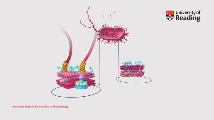 Interactive 2: Gram negative bacterial cell 3D Model