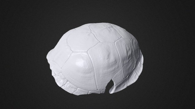 Turtle shell 3D Scan 3D Model