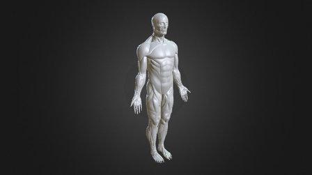 Human muscle 3D Model