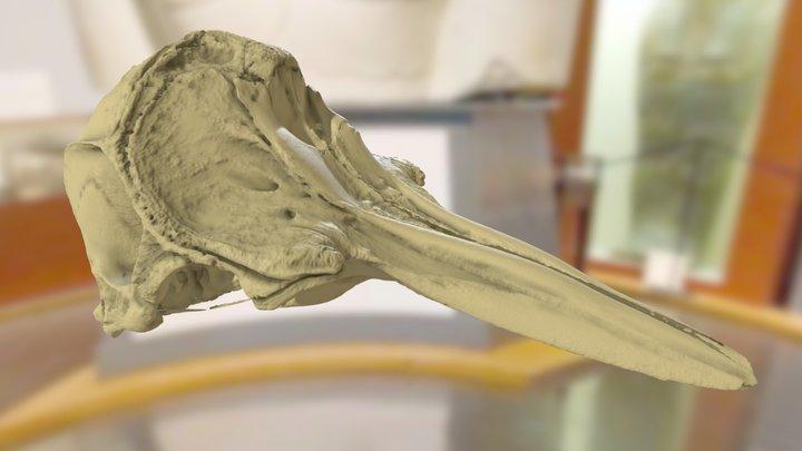 ChM CM256 - Bottlenose Dolphin Skull 3D Model