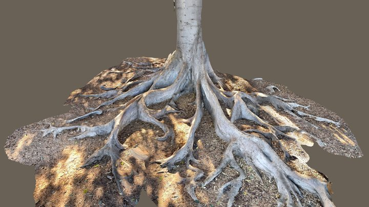 Moreton Bay fig tree 3D Model
