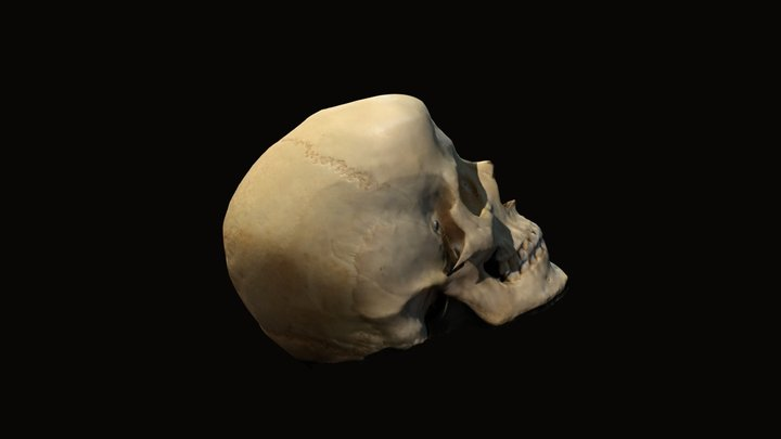 Cráneo. 3D Model