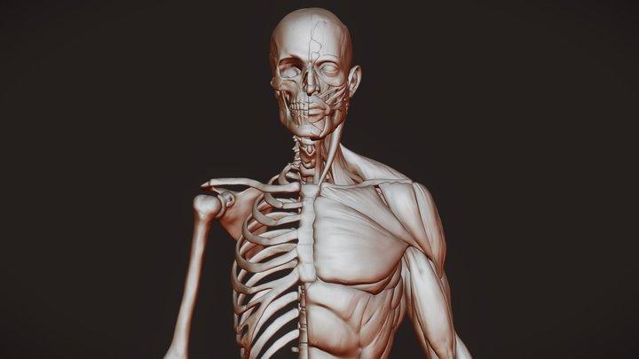 Anatomy_study 3D Model