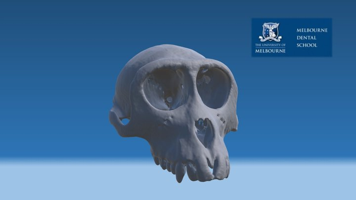 Macaque Skull 3D Model