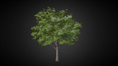 Red Oak 3D Model