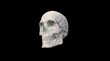 Caucasian adult male skull 3D Model