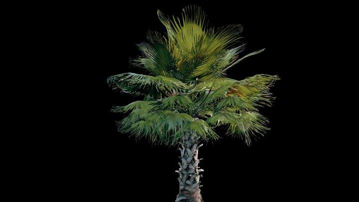 Palm tree - medium sized 3D Model