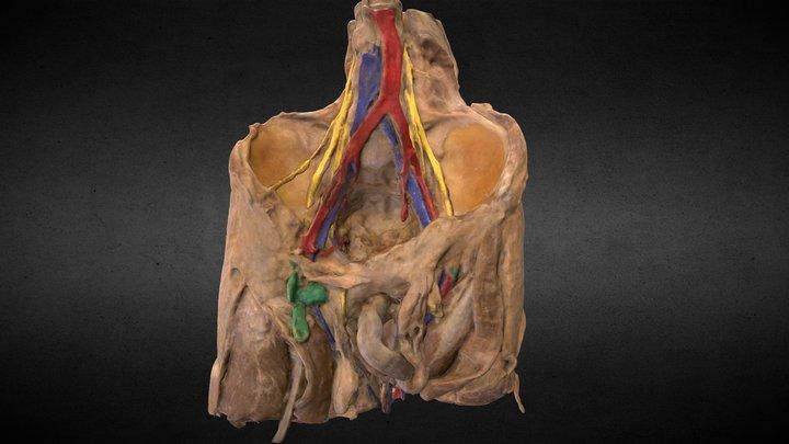 Cintura Pélvica 360º/Pelvic Girdle 360º 3D Model