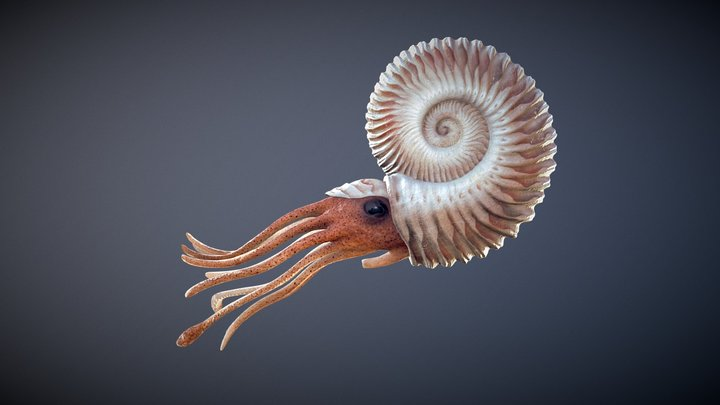 Ammonite + Swim Cycle 3D Model