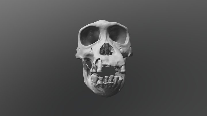 Chimpansee Skull - Pan troglodytes verus 3D Model
