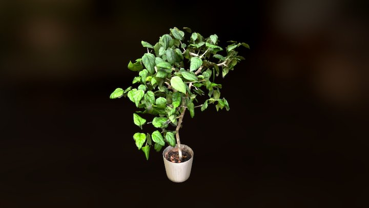 Plant   Rosa chinensis 3D Model