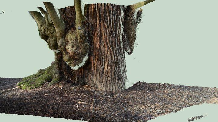 Close range scan of large Sweet chestnut 3D Model